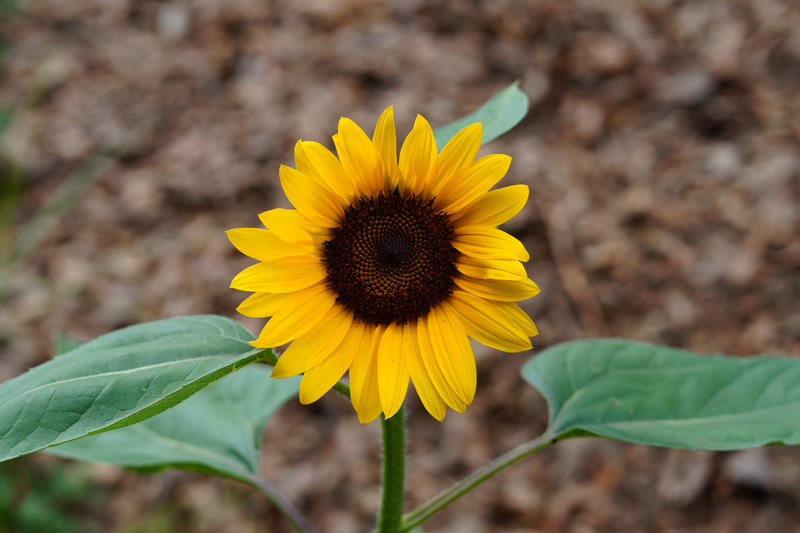 Name:  Sunflower 1X.jpg