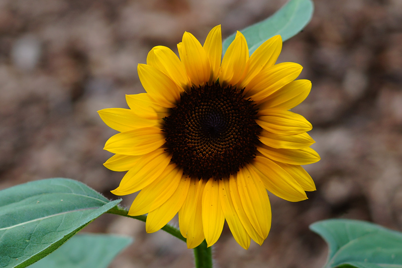 Name:  Sunflower 2X.jpg