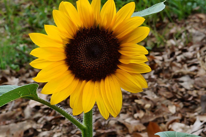 Name:  Sunflower 4X.jpg